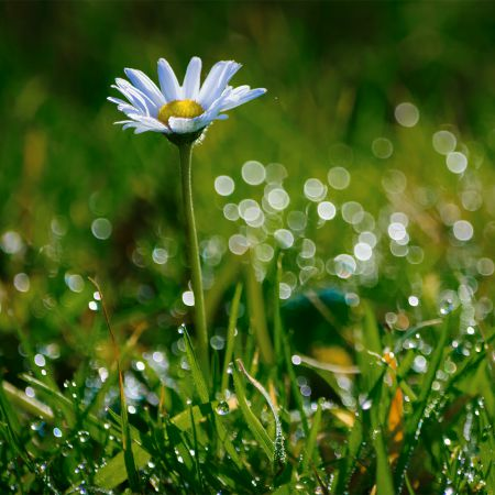 Daisy and dew laden grass.